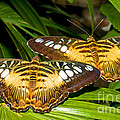 Clipper Butterflies by Millard H. Sharp