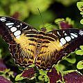 Clipper Butterfly by Bill Dodsworth