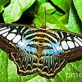 Clipper Butterfly by Millard H. Sharp