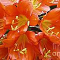 Music Please Clivia by Cheryl Cutler