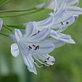 Close Up - African Lily by Annette Allman