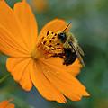 Close Up Bee Feeding On Orange Cosmos by Tom Wurl