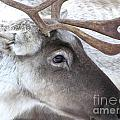 Close-up Caribou Reindeer by Sylvie Bouchard