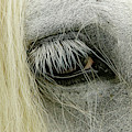 Close-up Details Of Gypsy Vanner Horse by Adam Jones