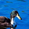 Close Up Duck by Darren Burton