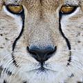 Close-up Of A Cheetah Acinonyx Jubatus by Panoramic Images