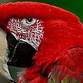 Close Up Of A Gorgeous  Green Winged Macaw Parrot. by Eti Reid