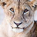 Close-up Of A Lioness Panthera Leo by Panoramic Images
