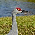 Close Up Of A Sandhill Crane by Denise Mazzocco