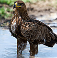 Close-up Of A Tawny Eagle Aquila Rapax by Panoramic Images
