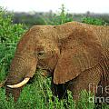 Close Up Of African Elephant by Deborah Benbrook