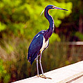 Close-up Of An Blue Egret, Boynton by Panoramic Images