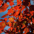Close Up Of Bright Red Leaves With Blue by Jenna Szerlag