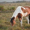 Close Up Of Brown And White New Forest Pony Horse At Sunrise In  by Matthew Gibson