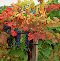 Close-up Of Cabernet Sauvignon Grapes by Panoramic Images