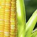 Close-up Of Corn An Ear Of Corn  by Sandra Cunningham