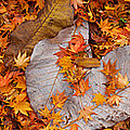 Close-up Of Fallen Maple Leaves by Panoramic Images