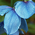 Close-up Of Himalayan Poppy Flowers by Panoramic Images