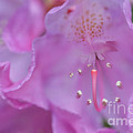 Close Up Of Inside Of Rhododendron Flower  by Dan Friend