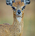 Close-up Of Klipspringer Oreotragus by Panoramic Images