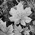 Close Up Of Leaves by Ansel Adams