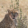 Close-up Of Leopard, Panthera Pardus by Tom Murphy