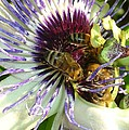 Close Up Of Passion Flower With Honey Bee  by Taiche Acrylic Art