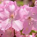 Close Up Of Pink Shell Azalea Flowers by Darlyne A. Murawski