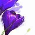 Close Up Of Purple Crocus by Jan Richter
