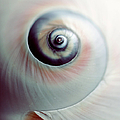 Close Up Of Spiral Shell by Lisa Sieczka