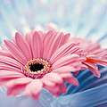 Close Up Of Two Pink Gerbera Daisies by Panoramic Images