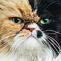 Close Up Portrait Of A Persian Cat by Sensorspot