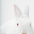Close Up Portrait Of A White Domestic by Rebecca Hale