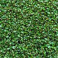 Close-up Privet Hedge by Chay Bewley