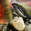 Close Up Underwater View Of Sockeye Red by Doug Demarest