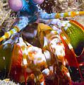 Close-up View Of A Mantis Shrimp by Steve Jones