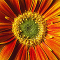 Close Up Yellow Orange Mum by Garry Gay