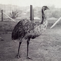 Close View Of An Emu Standing In Front by Boston Photo News Co
