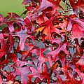 Close View Red Oak Leaves by Linda Phelps