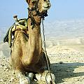 Closeup Of A Camel by Shay Fogelman