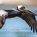 Closeup Of A Flying Brown Pelican by Andres Leon