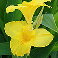 Closeup Of A Tropical Yellow Canna Lily by Taiche Acrylic Art