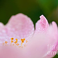 Closeup Of A Wet Pink Rose   by Leyla Ismet