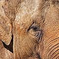 Closeup Of An Elephant by Nick  Biemans