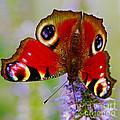 Closeup Of An European Peacock Butterfly  by Nick  Biemans
