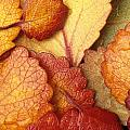 Closeup Of Dwarf Birch Leaves Autumn Ar by Jim Barr