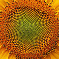 Closeup Of Sunflower by Alan Hutchins