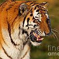 Closeup Portrait Of A Siberian Tiger  by Nick  Biemans