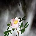 Cloud Mountain Cherokee Rose by Kim Pate