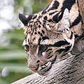Clouded Leopard Cub by Athena Mckinzie